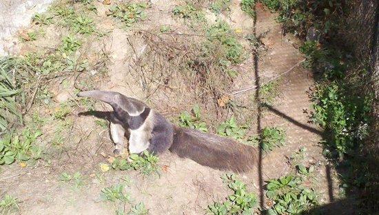 Greensboro Science Center: Giant Anteater Eureka
