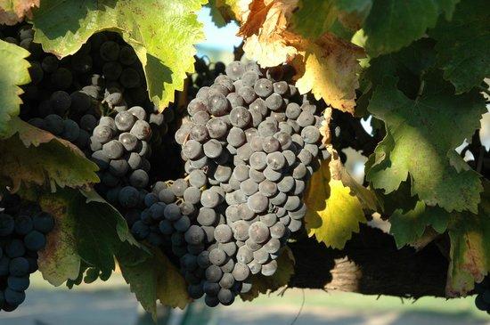 Larner Vineyard & Winery Tasting Room: Grenache fruit from the Larner Vineyard
