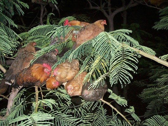 Mine Shaft Cafe: Hens roosting in tree.