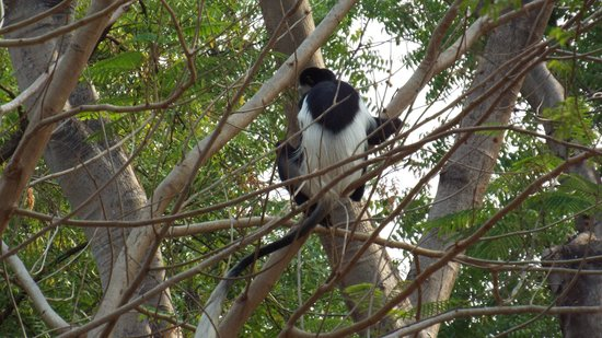 Gambela, Ethiopia: dont leave your windows open...monkeys are nosey!