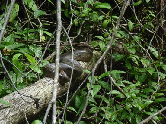 Siona Lodge: An anaconda spotted along the river