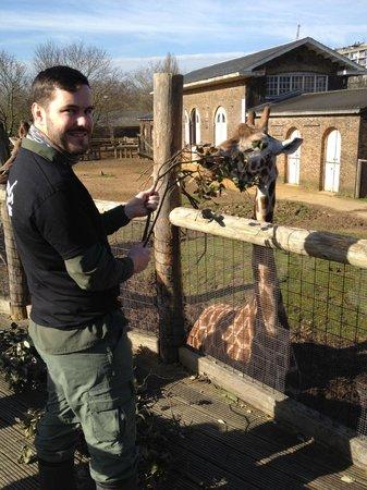 ZSL London Zoo: Morning feeding of the giraffes