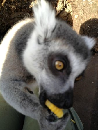 ZSL London Zoo: Lemur sitting on my lap enjoying sweetcorn