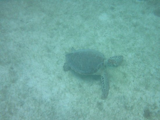 Akumal Beach : One of many turtles.