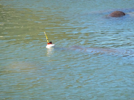 Tampa Electric Manatee Viewing Center: Manitee being tracked...