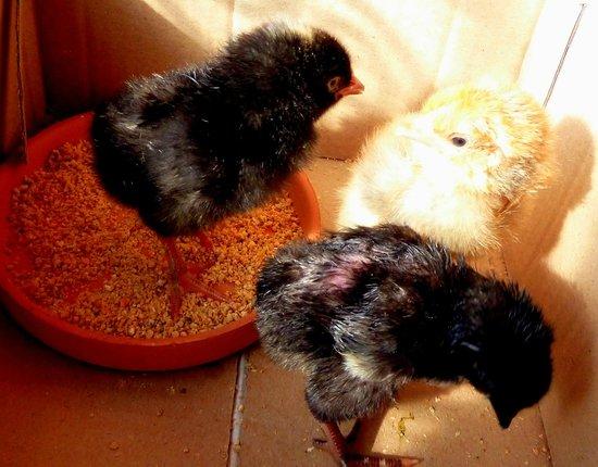 Dar Tasmayoun : Petits poussins