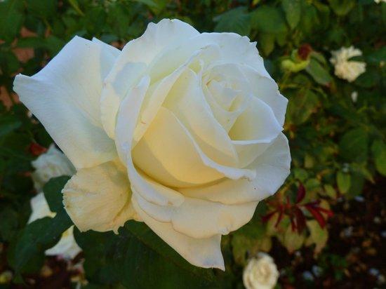 Dar Tasmayoun : Roses
