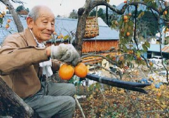 Traditional dried persimmon: Harvest of persimmon 柿の収穫
