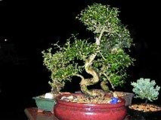 EPCOT : Serissa, beautiful bonsai with white tiny flowers.