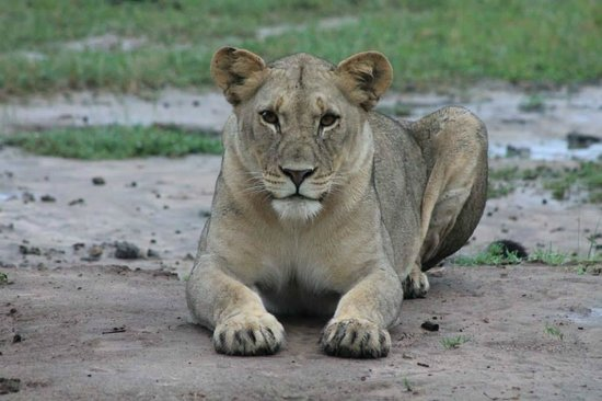 Vuyani Safari Lodge: Young Lioness happy to see us!