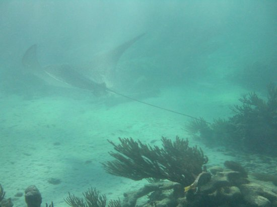 Grand Oasis Tulum: huge eagle sting ray