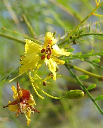 San Bernardino County Museum: Palo Verde Blossom