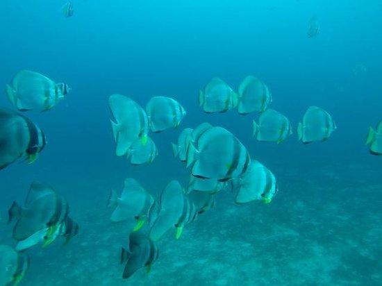 Blue Ribbon Dive Resort : Bat Fish