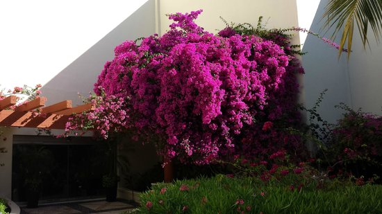 Azul Beach Resort Riviera Cancun: Bougainvilla in bloom. One of many.