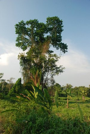 Cotton Tree Lodge: Cotton tree