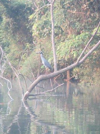 Cotton Tree Lodge : Bird life ...