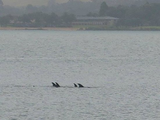 The Gables Restaurant: local dolphin pod cruising past (taken from the table)