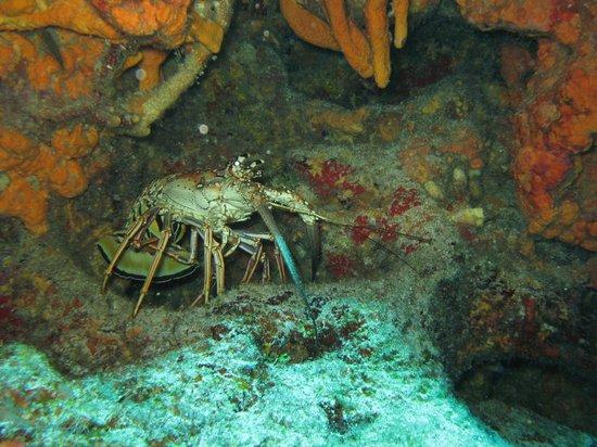 Cancun Scuba Center: Lobster