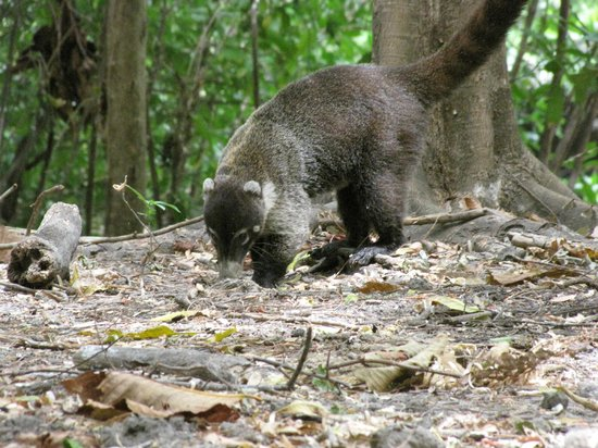 Allegro Papagayo: Coati cared for at the resort named Charlie