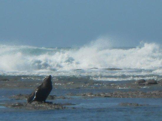 Quality Suites Kaikoura : Seal at Kean Point