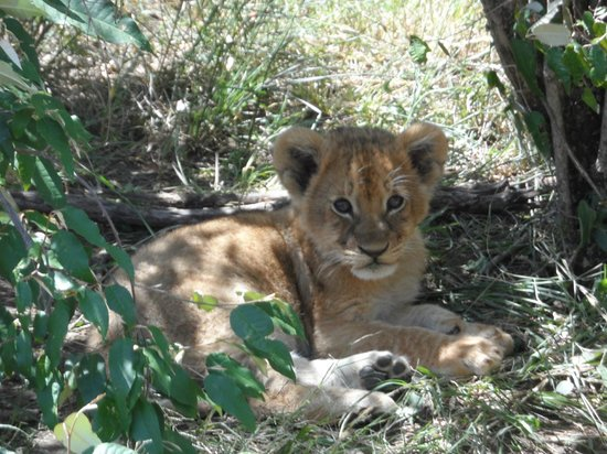 Julius Tact Safaris - Private Day Trips : Lion Cub