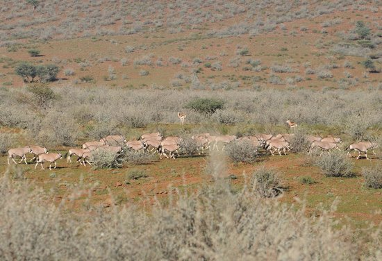 Namseb Lodge: Oryx herd with Springboks