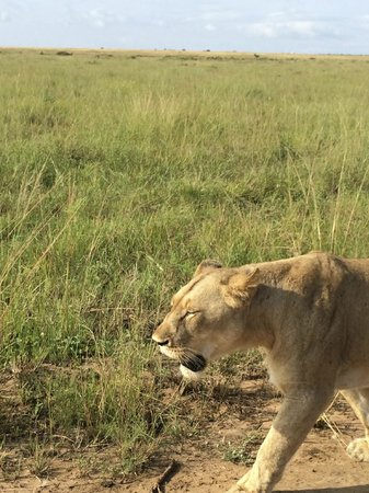 andBeyond Phinda Vlei Lodge: Close encounter with Lions