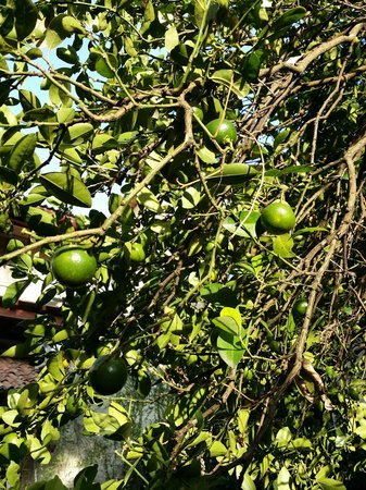 Bangalawa: Lemon tree in garden