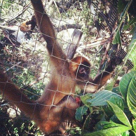 Refugio Herpetologico de Costa Rica: one of the monkeys