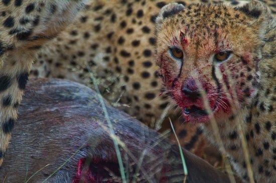 Madikwe Hills Private Game Lodge: Hungry Cheetah