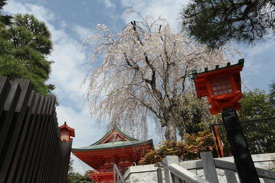 Anahachimangu: 穴八幡宮の枝垂桜
