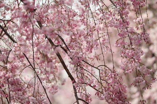 Anahachimangu: 春爛漫の境内