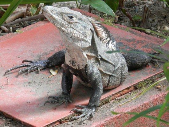 Hotel California: Iguana