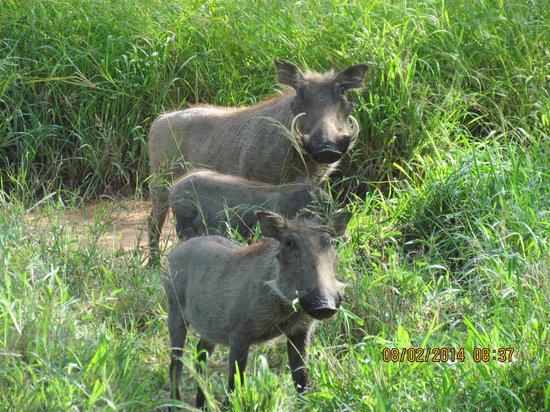 Kapama Southern Camp : Wart-hogs at Kapama camp ground