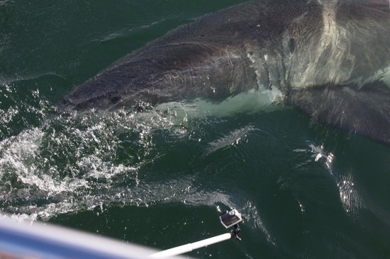 Apex Shark Expeditions: Good shark sighting