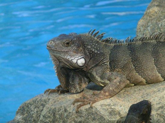 Holiday Inn Resort Aruba - Beach Resort & Casino : These guys hang around the pool but are harmless