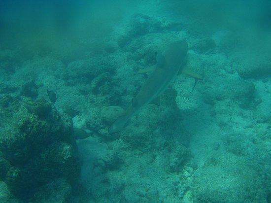 Paradise Island Resort & Spa: Large shark (around 1,5 metres long) near the edge of the reef
