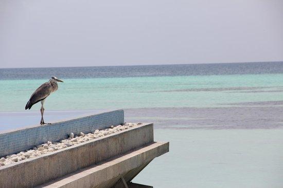 Olhuveli Beach & Spa Maldives: piscine