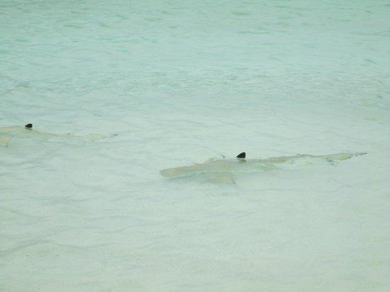 Kuramathi Island Resort: squaletti che mangiano