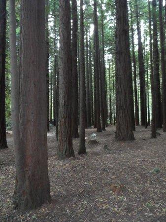 Redwoods, Whakarewarewa Forest: peaceful