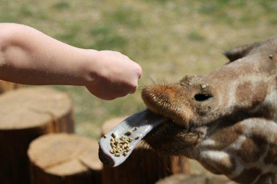 Wildlife World Zoo and Aquarium : Feeding a giraffe