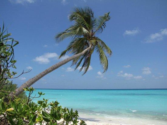 Kuramathi Island Resort: Her er palmen fra reklamen ;-)