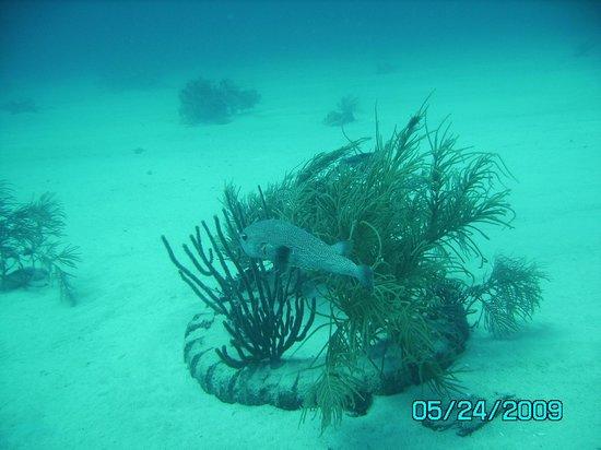 Bougainvillea Beach Resort: Puffer Fish