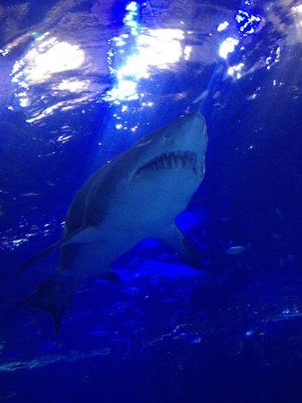 Newport Aquarium : Shark