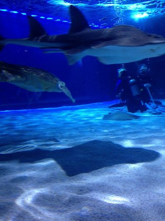 Newport Aquarium: Shark Ray, Sea Turtle and divers during the show