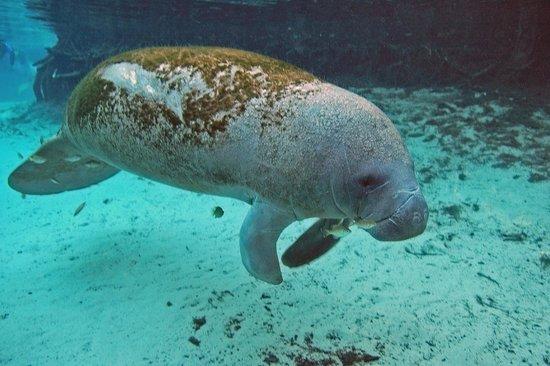 Bird's Underwater: Baby manatee