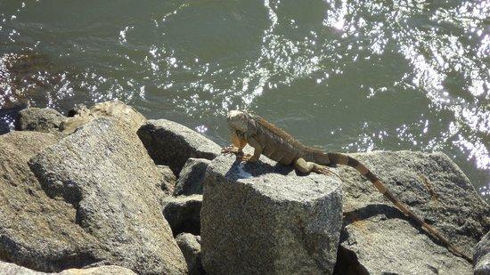 Playa de Nuevo Vallarta: Iguana