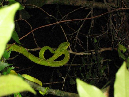 Monteverde Wildlife Refuge: Pitviper
