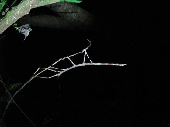 Monteverde Wildlife Refuge : Walking Stick