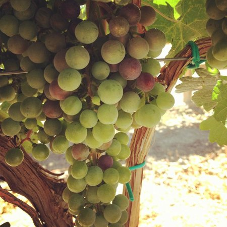 Wine Country Inn: Grapes in our Vineyard